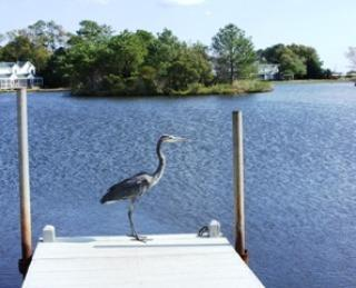 Heron surveying the tidal lake and sanctuary